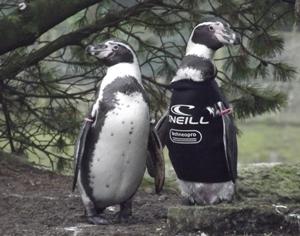 Ralph Penguins O'Neill websuit